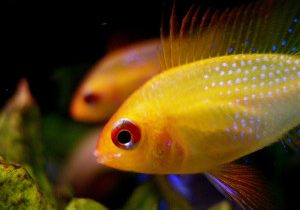 Goldfish_Medium